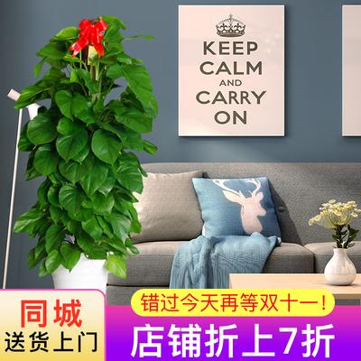 专送北京大绿萝盆栽办公室客厅柱