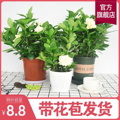 盆栽大盆带花苞四季开花阳台栀子花
