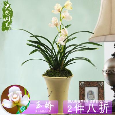 玉娇兰花盆栽植物名贵兰草花苗建兰