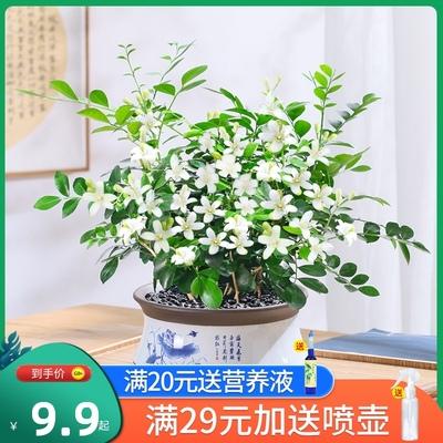 九里香盆栽老桩浓香四季室内七里香