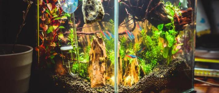 办公室家庭鱼缸壁上的绿藻怎么去除及如何预防藻类生长的方法