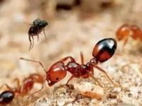 红火蚁已传播至我国435个县市区,杀伤力到底有多大?